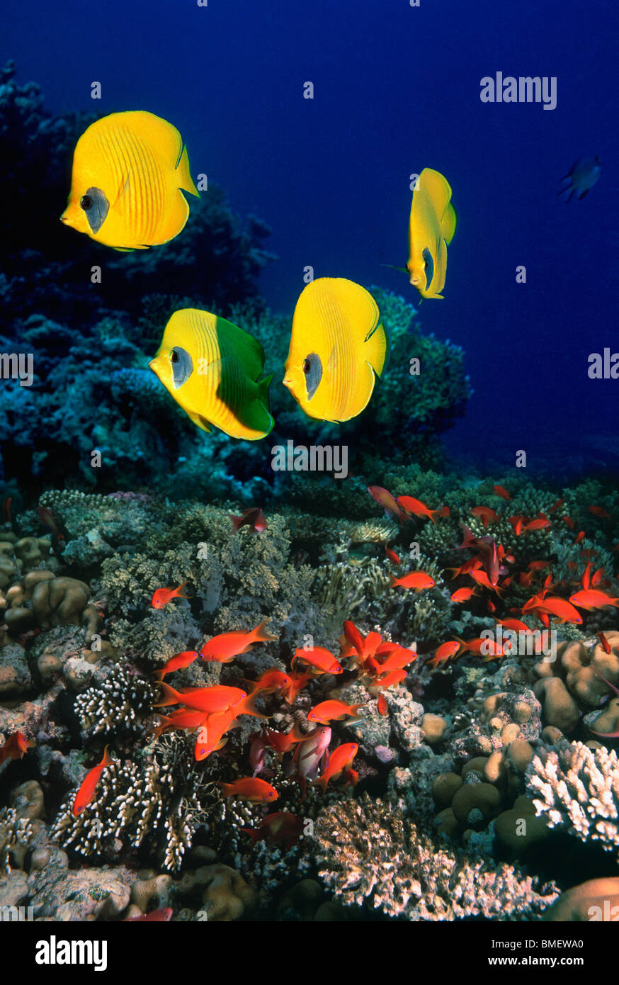 Golden butterflyfish with Lyretail anthias or Goldies over coral reef.  Egypt, Red Sea. - Stock Image