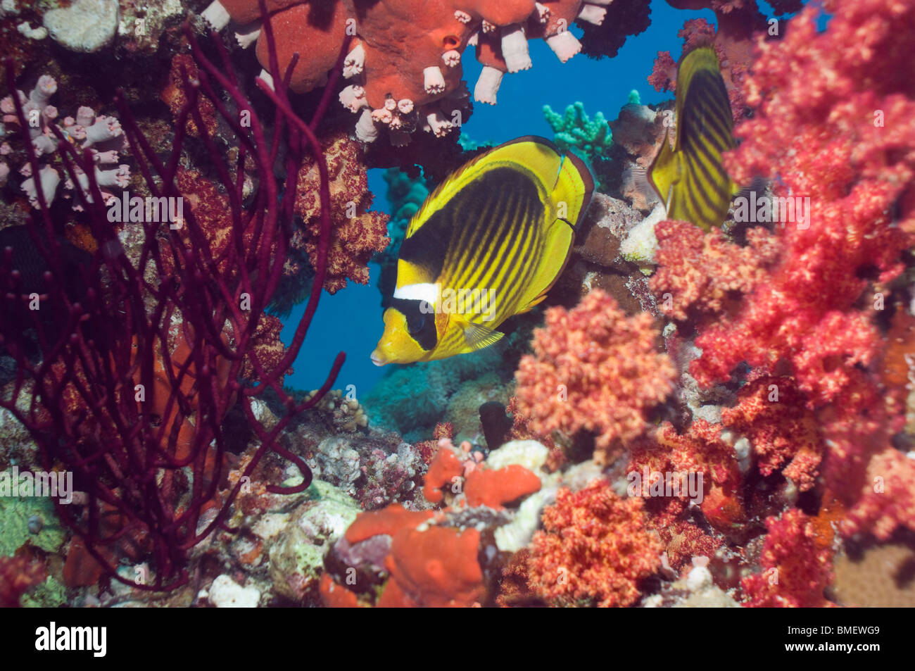 Red Sea racoon butterflyfish with soft corals on reef.  Egypt, Red Sea. - Stock Image