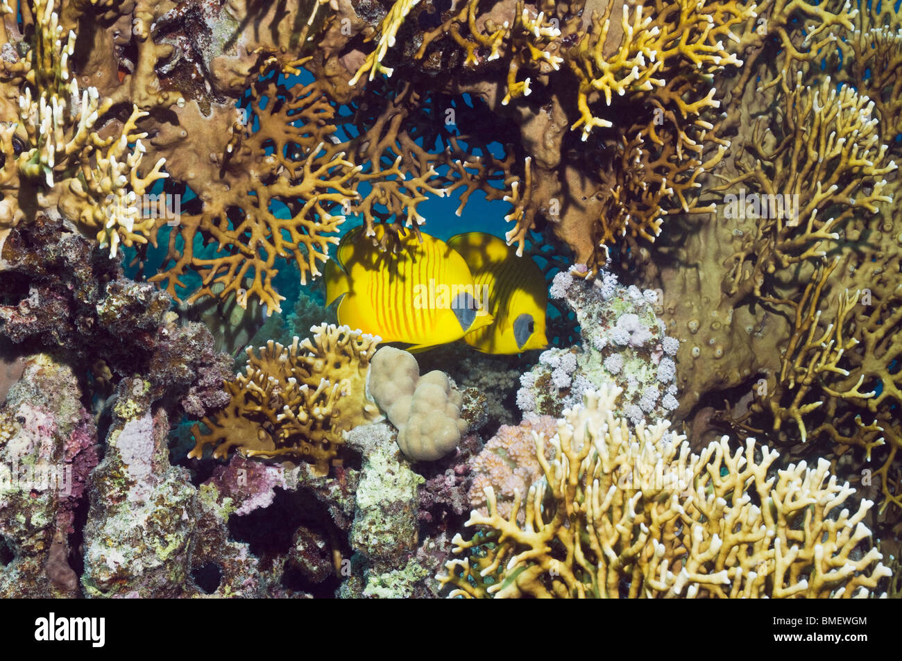 Golden butterflyfish with fire coral on reef.  Egypt, Red Sea. - Stock Image