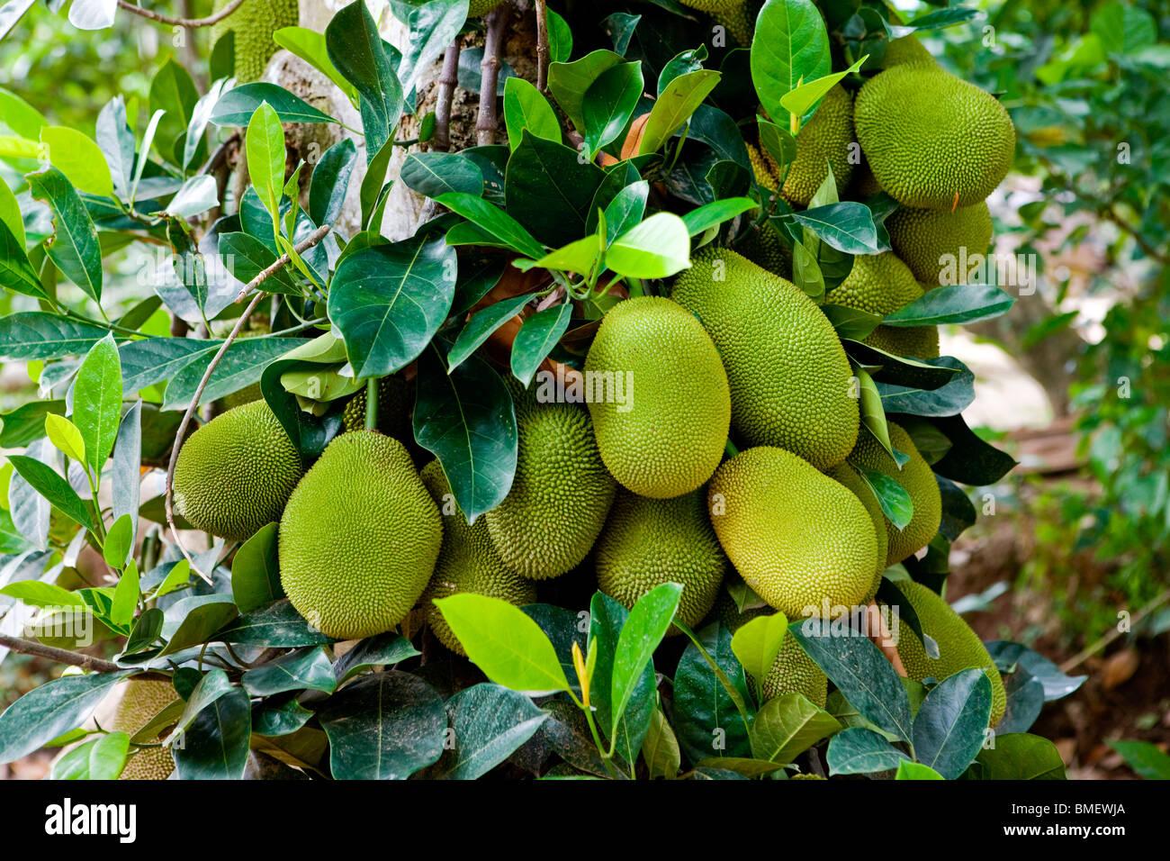 jackfruit tree images.html