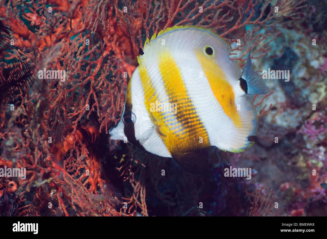 Orange-banded coralfish feeding on gorgonian polyps.  Misool, Raja Ampat, West Papua, Indonesia. - Stock Image