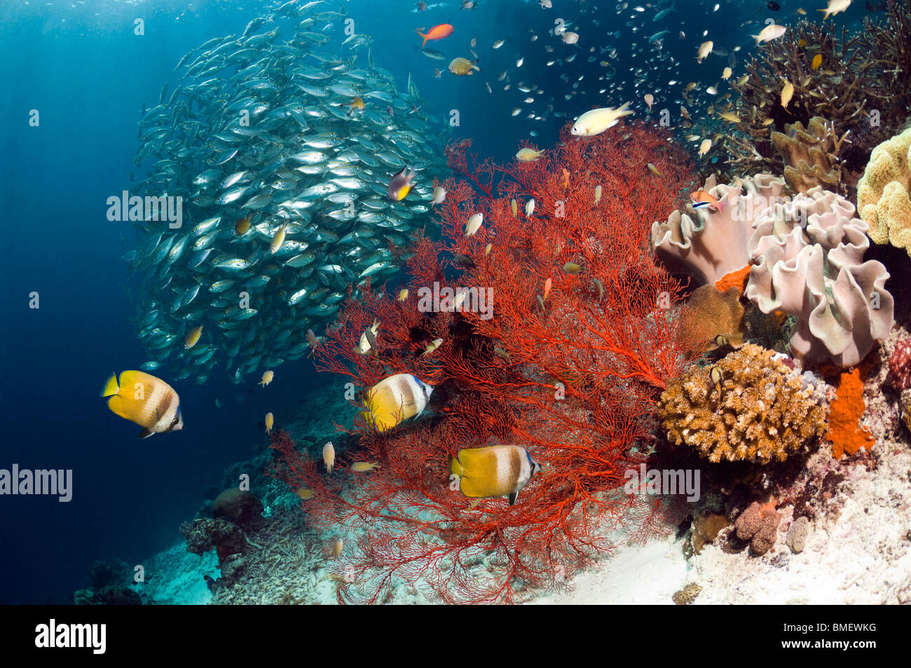 Coral reef scenery with Klein's butterflyfish with gorgonian and a school of Bigeye scad, Misool, West Papua, - Stock Image