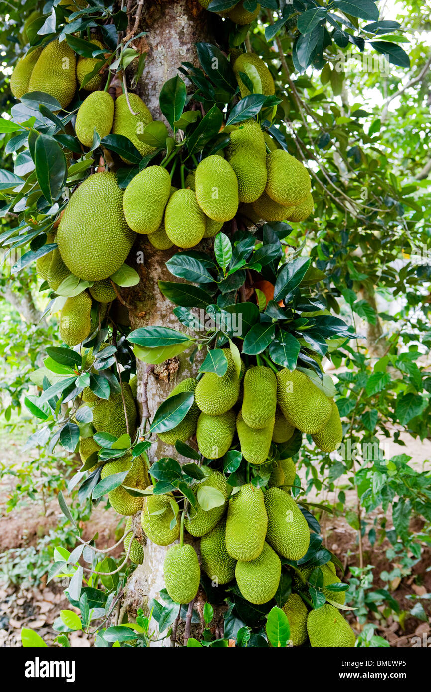 Pictures Of A Jackfruit Tree