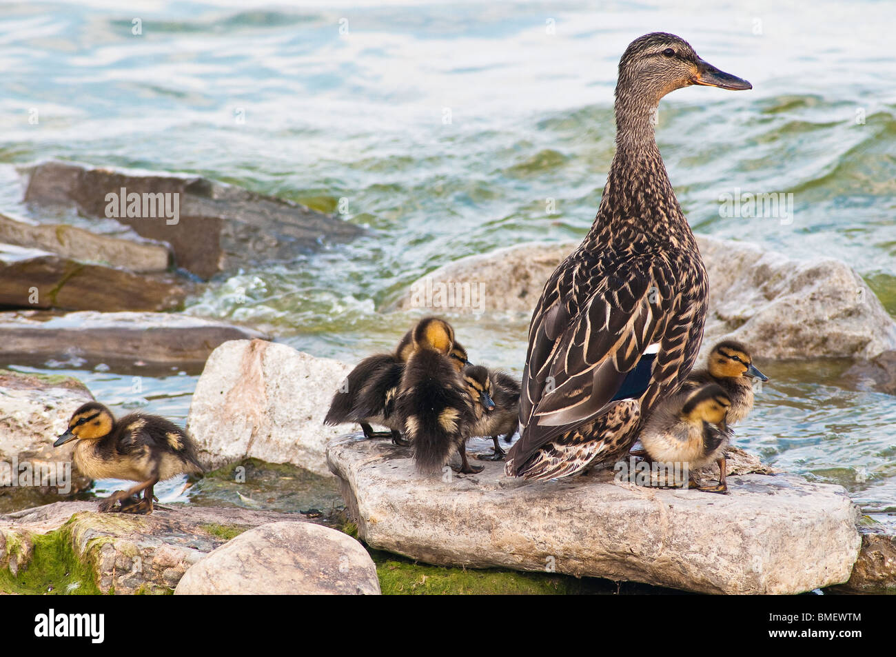 Female Mallard with young ducklings on the rocks in Lake Ontario - Stock Image