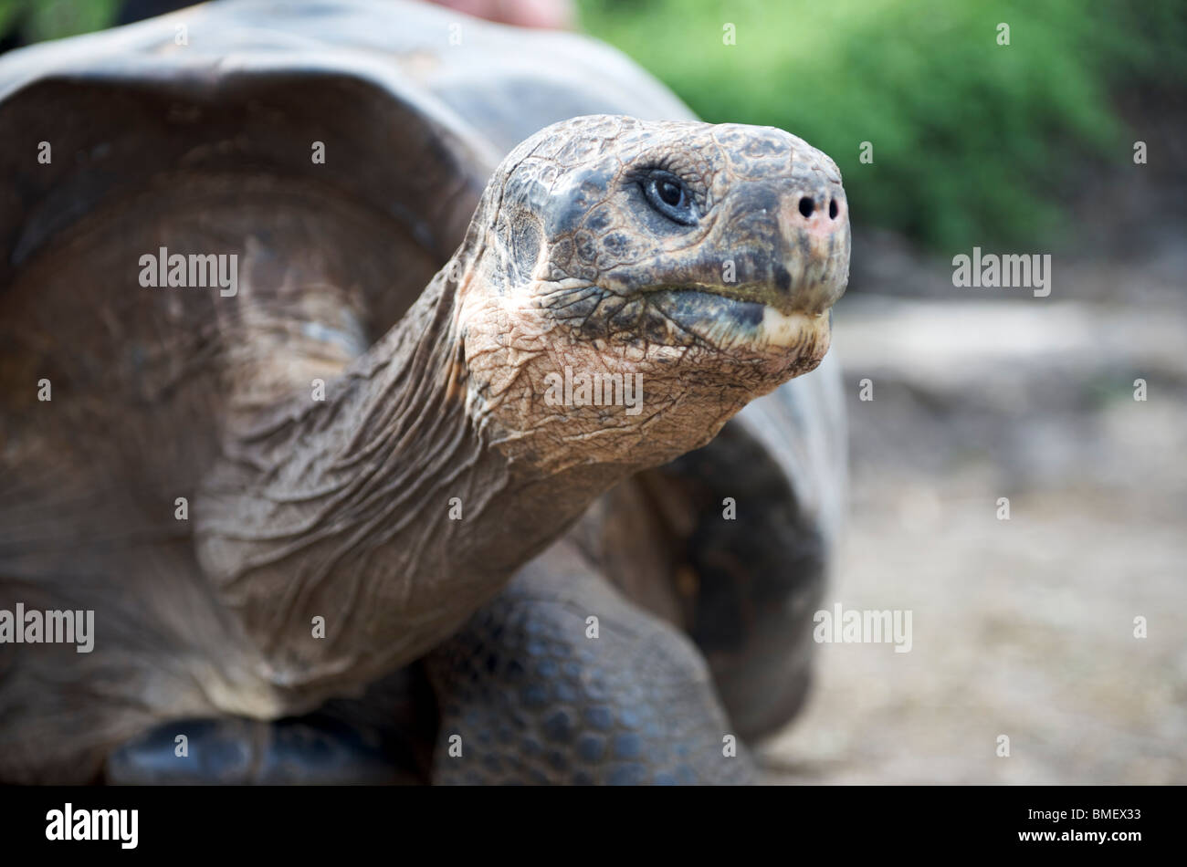 Giant Tortoise (dome-shelled). Charles Darwin Research Station field enclosure, Santa Cruz Island, Galapagos - Stock Image