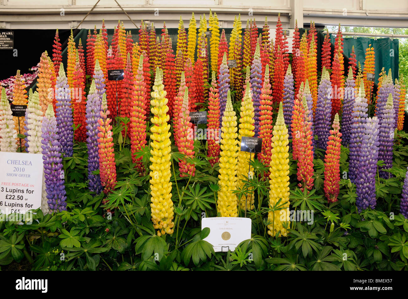 Annual Chelsea Flower Show - the award winning Lupin grower, Westcountry Nurseries. 2010. Stock Photo