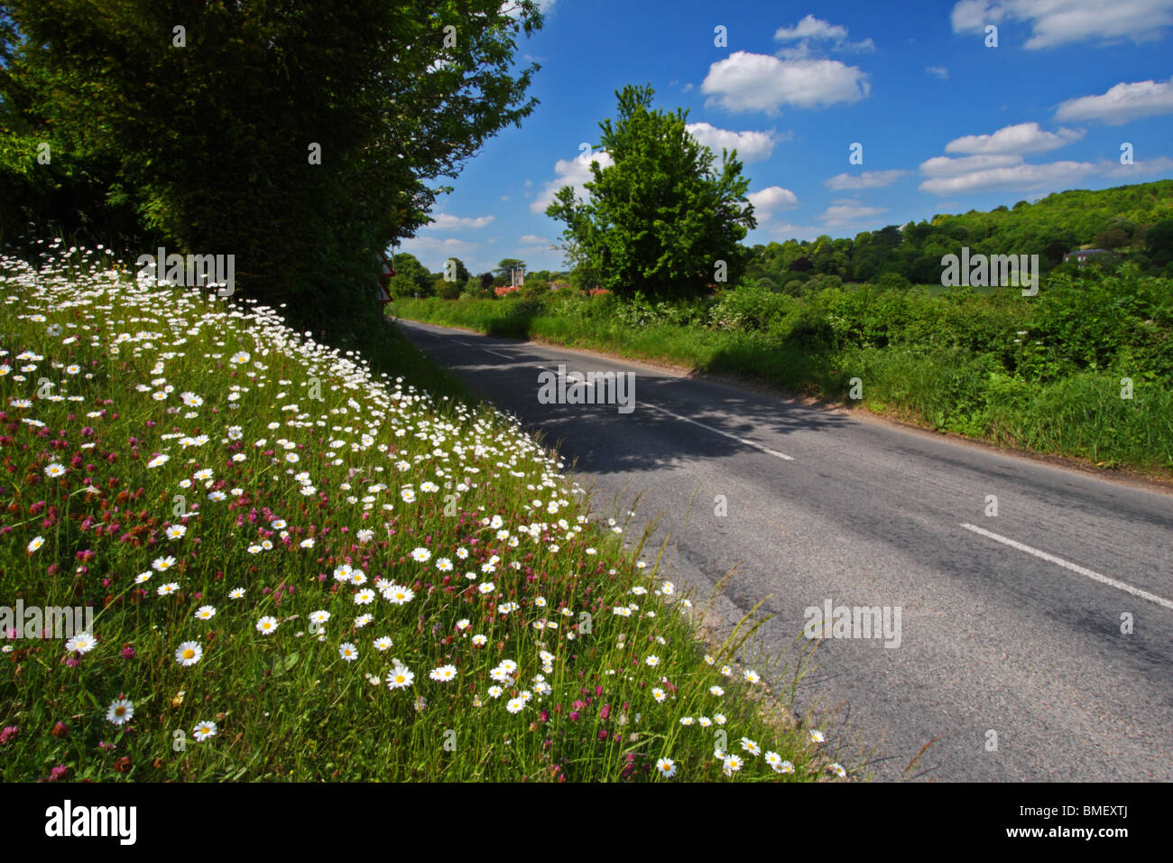 The road from Mill End to Hambleden lined with Oxeye daisies in Spring. Buckinghamshire, United Kingdom. - Stock Image