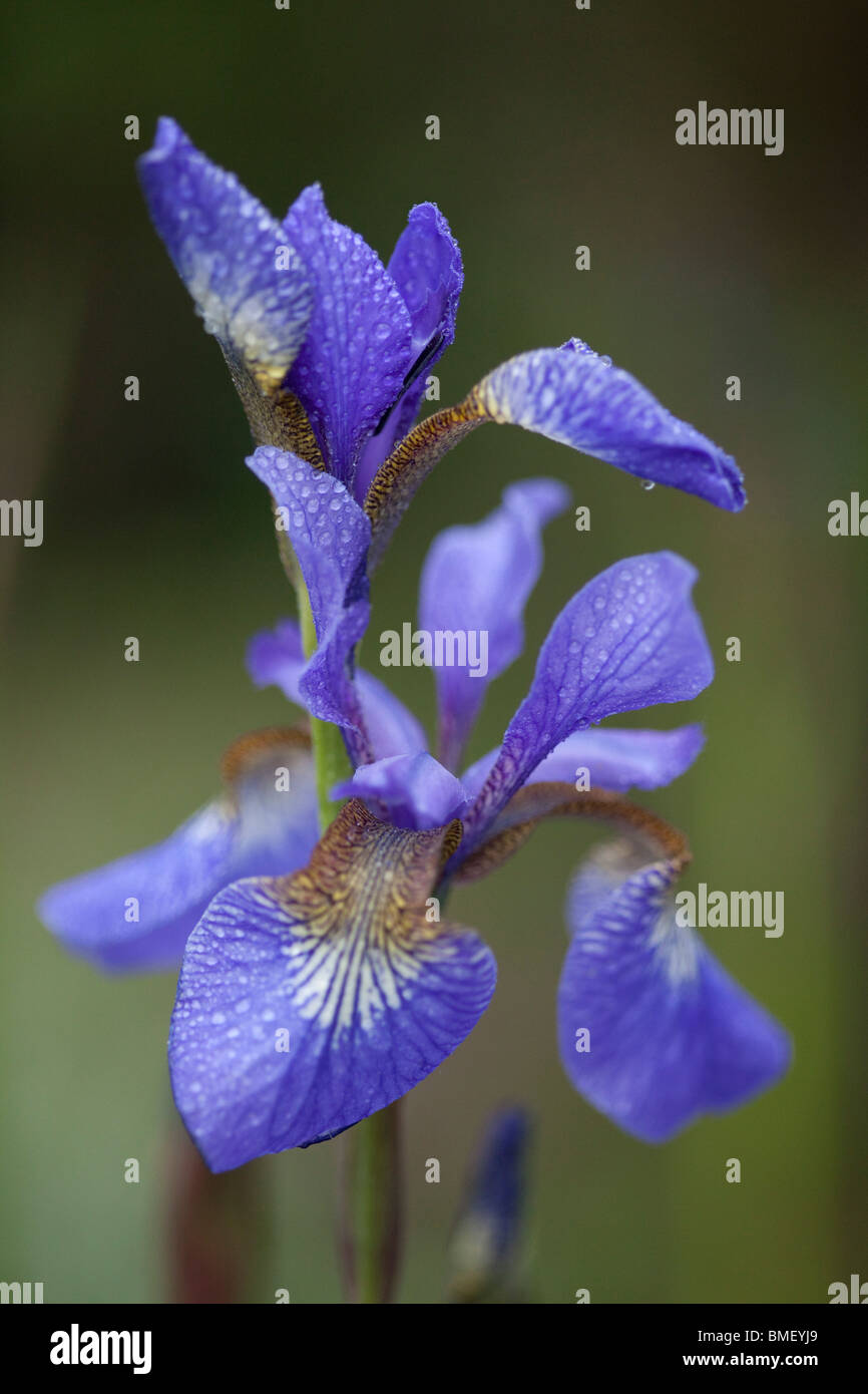 Blue Flag Iris (Iris Sibirica) flowering in late spring or early summer in an English Garden Stock Photo