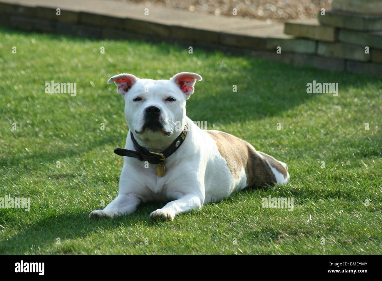 A young Staffordshire Bull Terrier - Stock Image