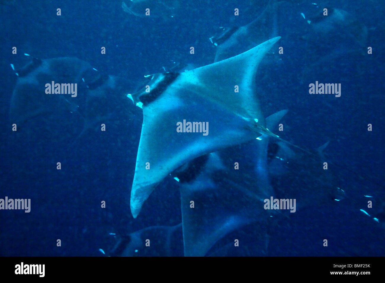 Manta rays, Puerto Princesa Bay, The Philippines - Stock Image
