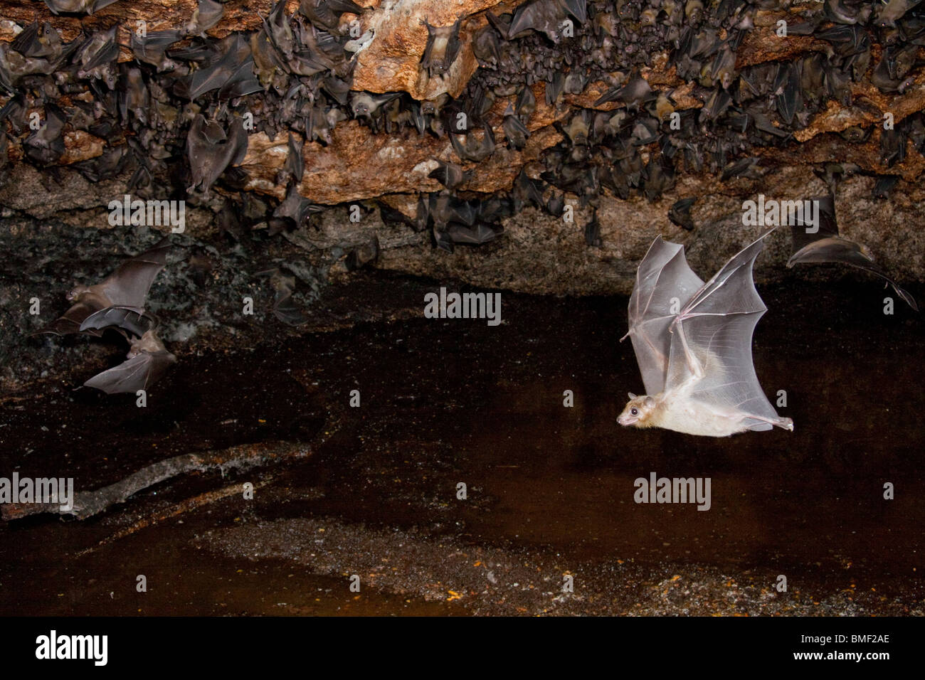 A colony of the Egyptian fruit bats (Rousettus aegyptiacus) in cave. - Stock Image