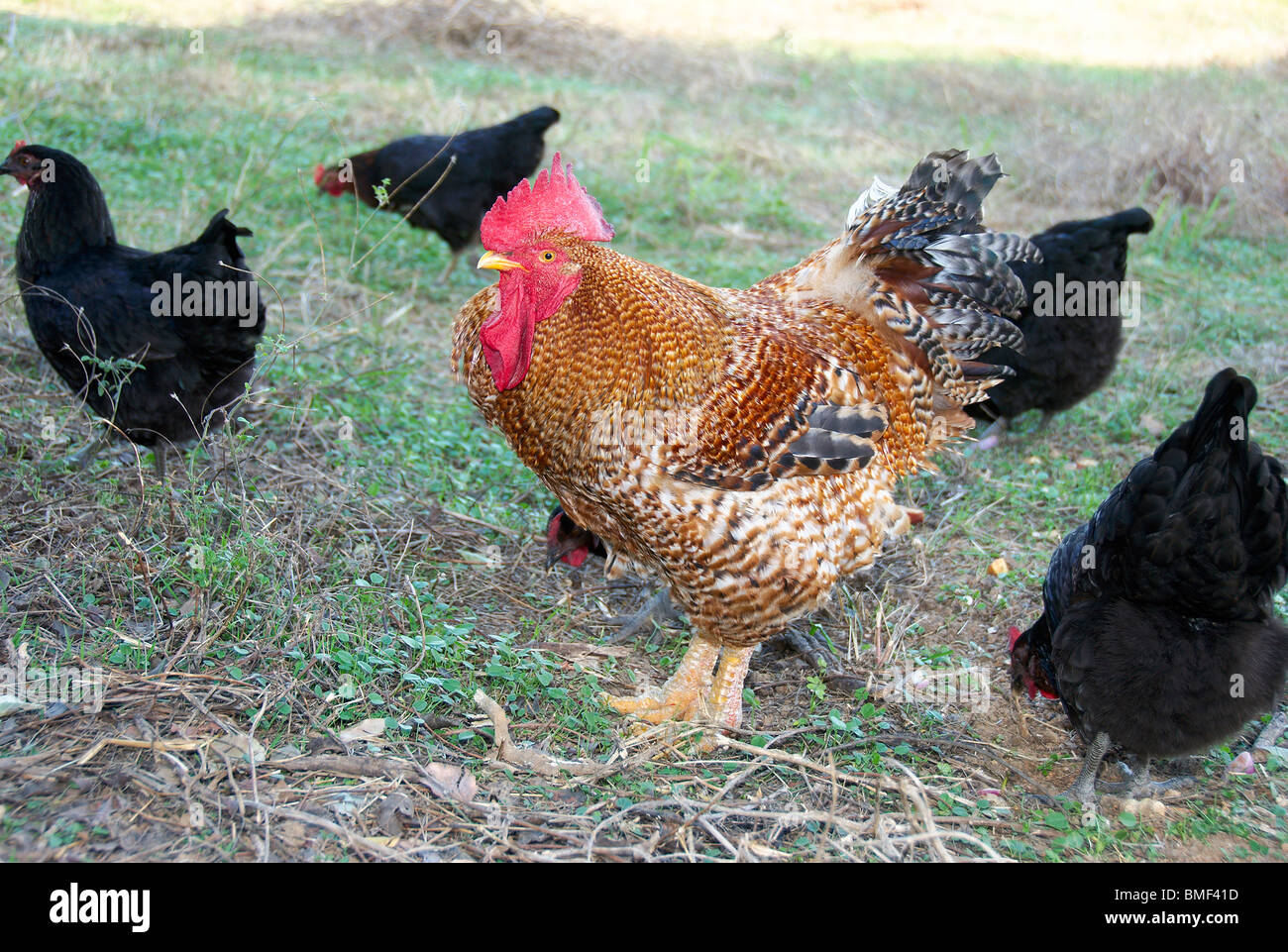 Cockerel with hens - Stock Image