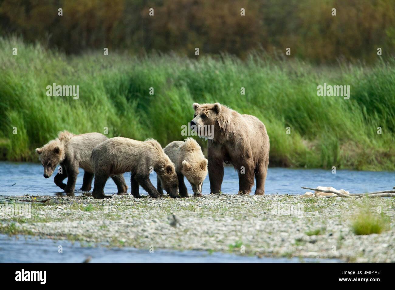 Brown bears, Katmai National Park, Alaska - Stock Image