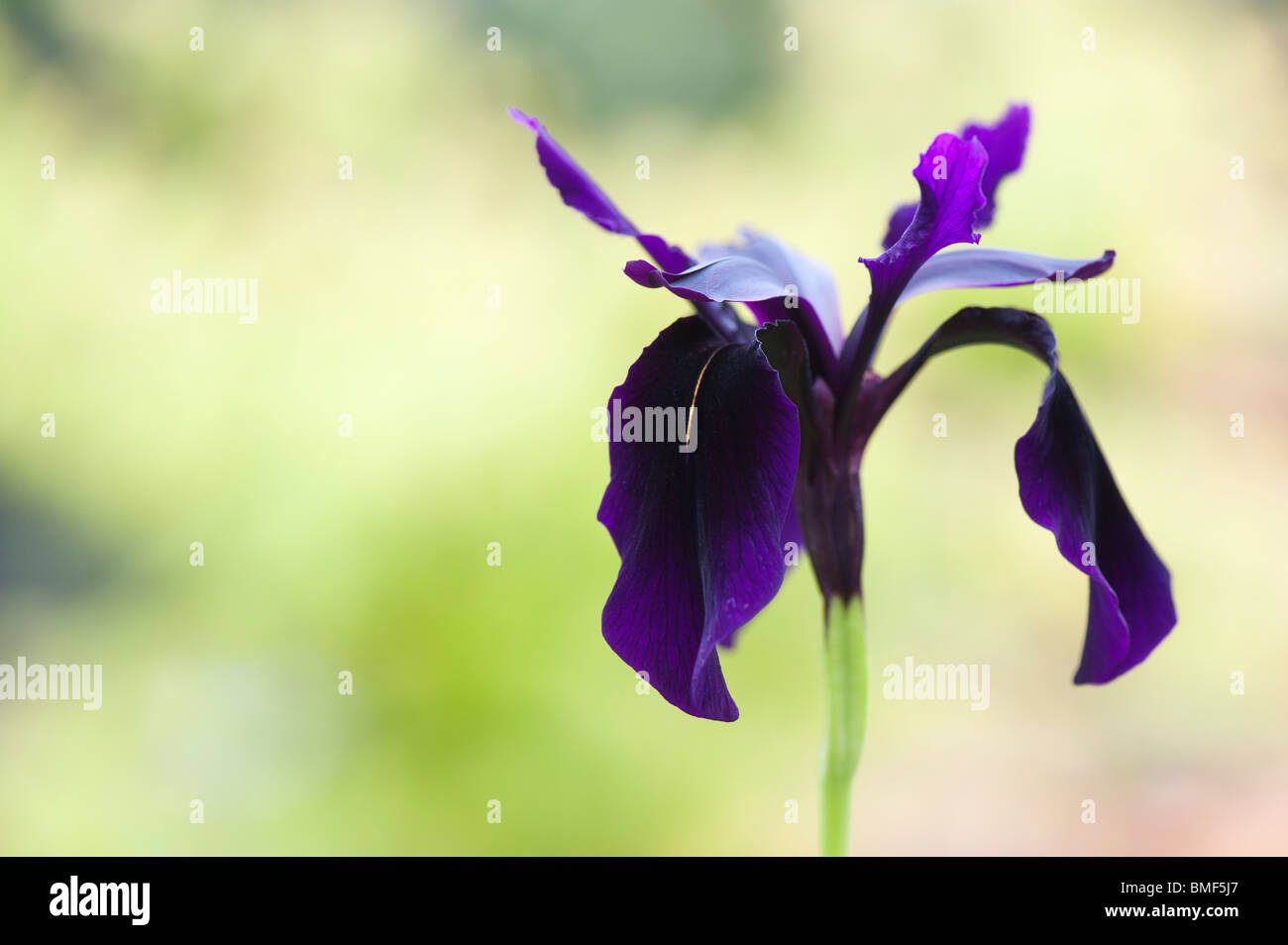 Iris chrysographes 'black form'. Black iris / Goldvein Iris in a garden. UK - Stock Image