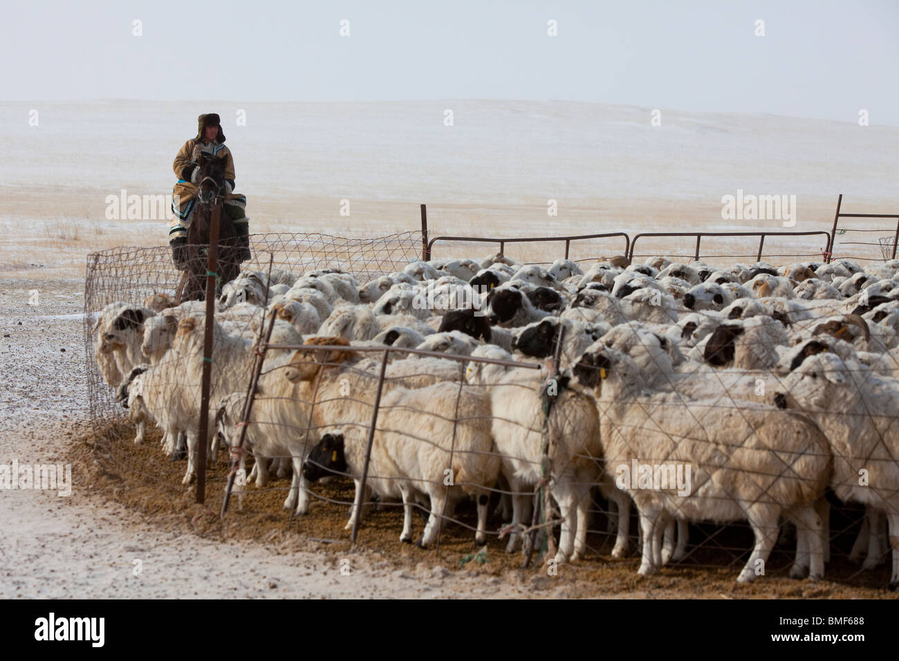 Sheep in stable, Ujimqin Grassland, East Ujimqin Banner, Xilin Gol League, Inner Mongolia, China - Stock Image