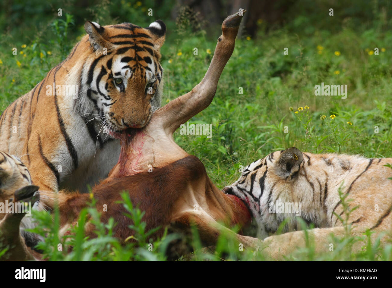 what is in a siberian tigers diet