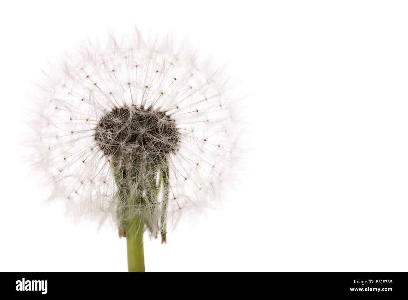 dandelion close up shot with white background - Stock Image