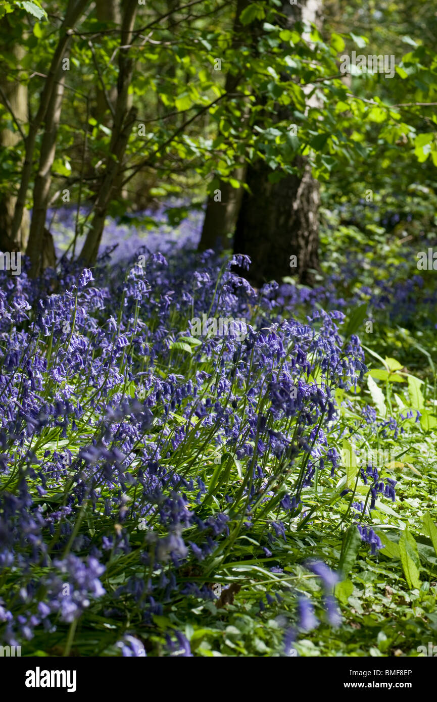 A close up view of bluebells leaning toward the sun, in a clearing in a bluebell woodland - Stock Image