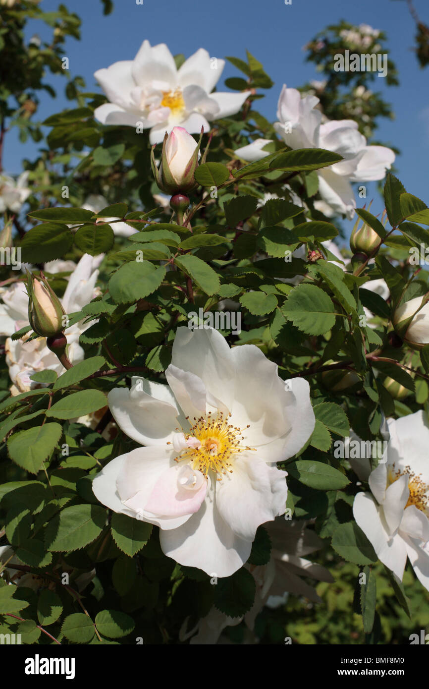 White Rambling Rose - Stock Image