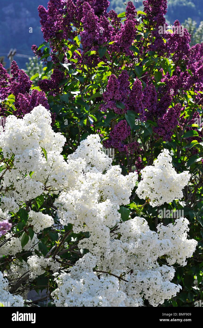 Lilac Blossoms (syringa vulgaris) - Stock Image
