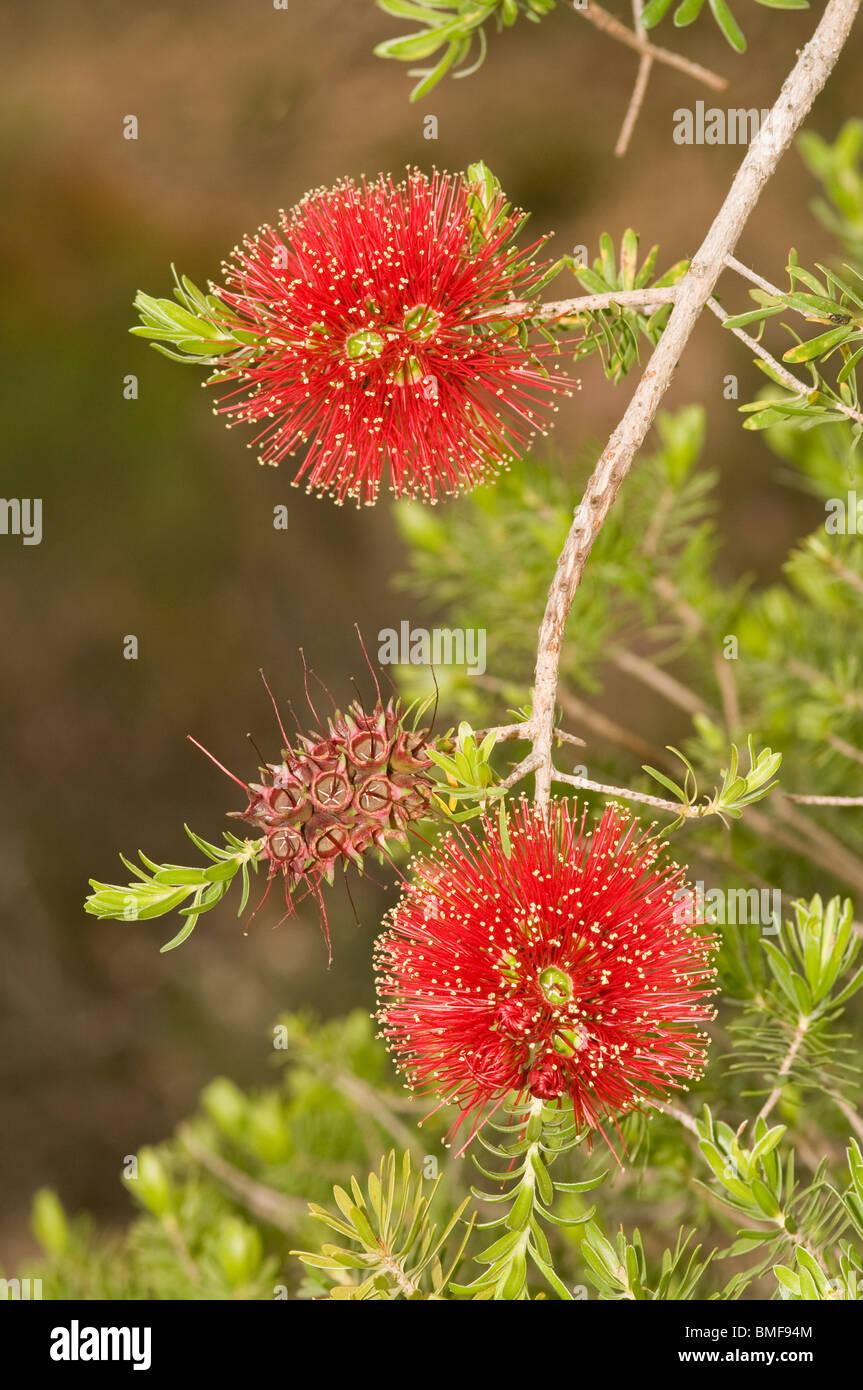 Australia banksia blossoms - Stock Image