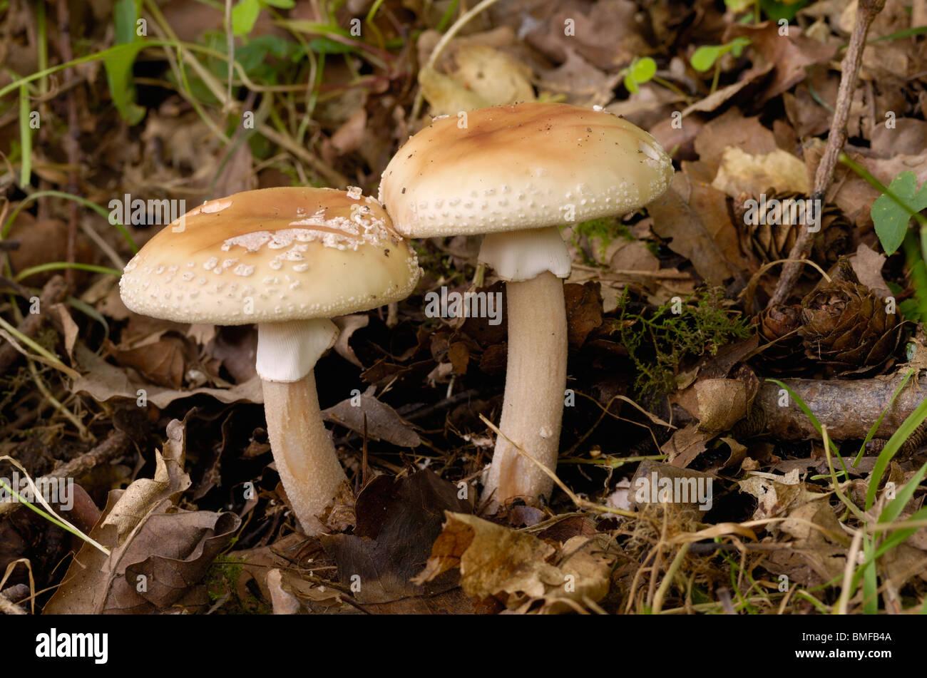 The Blusher, Amanita rubescens, fungi in mixed woodland - Stock Image