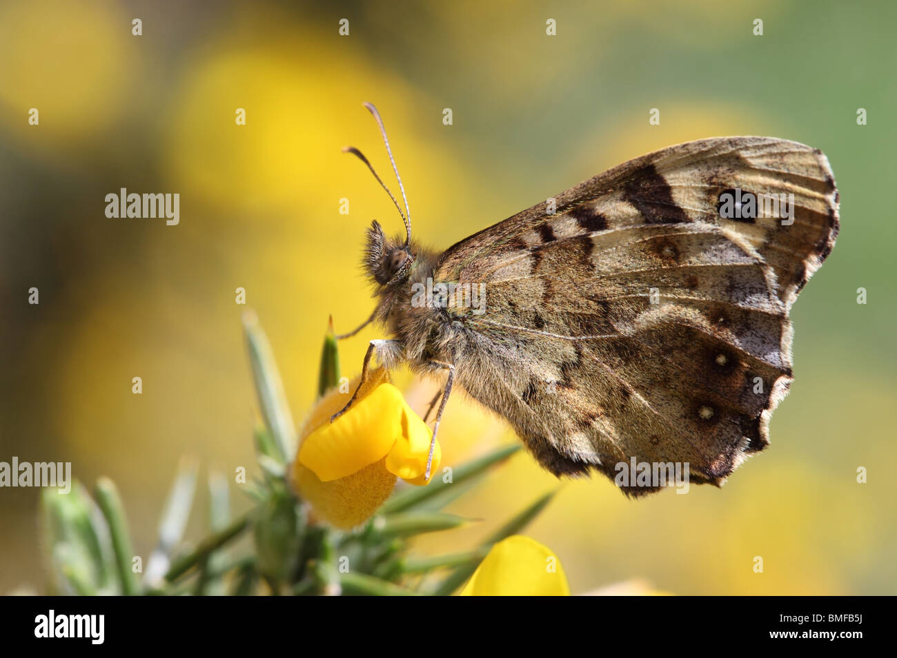 Speckled Wood Butterfly Pararge aegeria on Gorse Flower County Durham - Stock Image