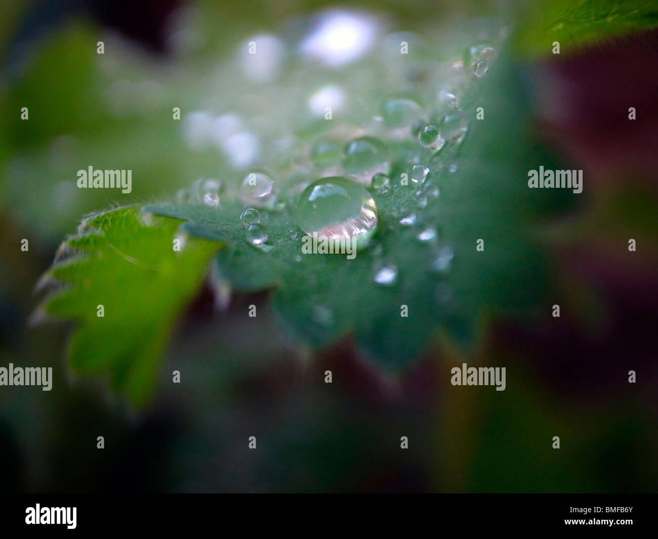 dew drops, rain drops, close up - Stock Image