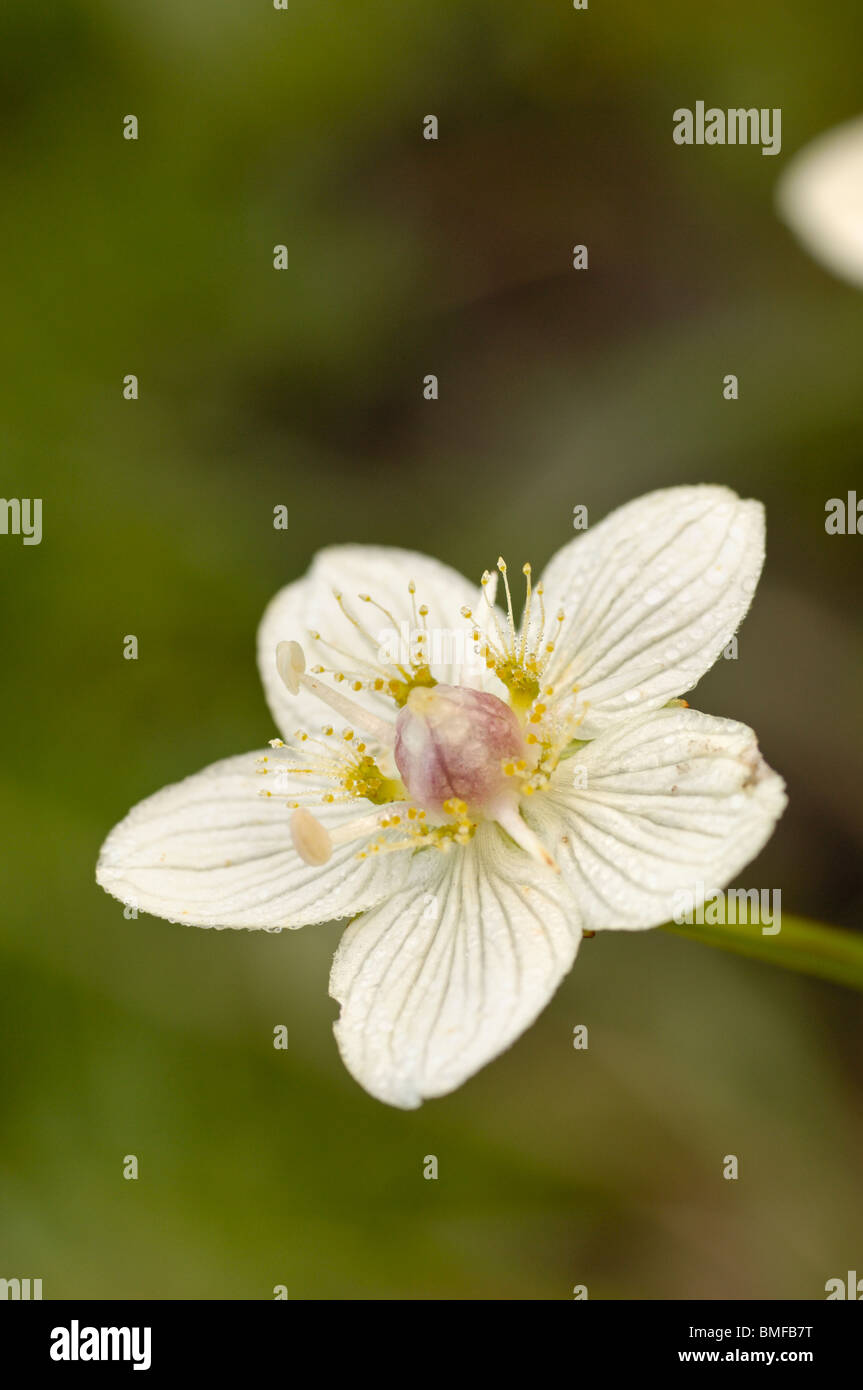 Grass-of-Parnassus, Parnassia palustris, wildflower in wetland marsh - Stock Image