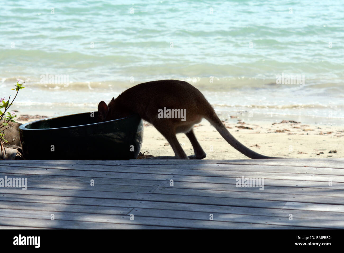 An Australian wallaby taking a drink by the beach, Whitsunday islands, Great Barrier Reef. - Stock Image