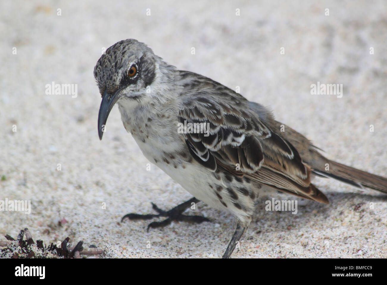 Mocking Bird on Galapagos Islands - Stock Image