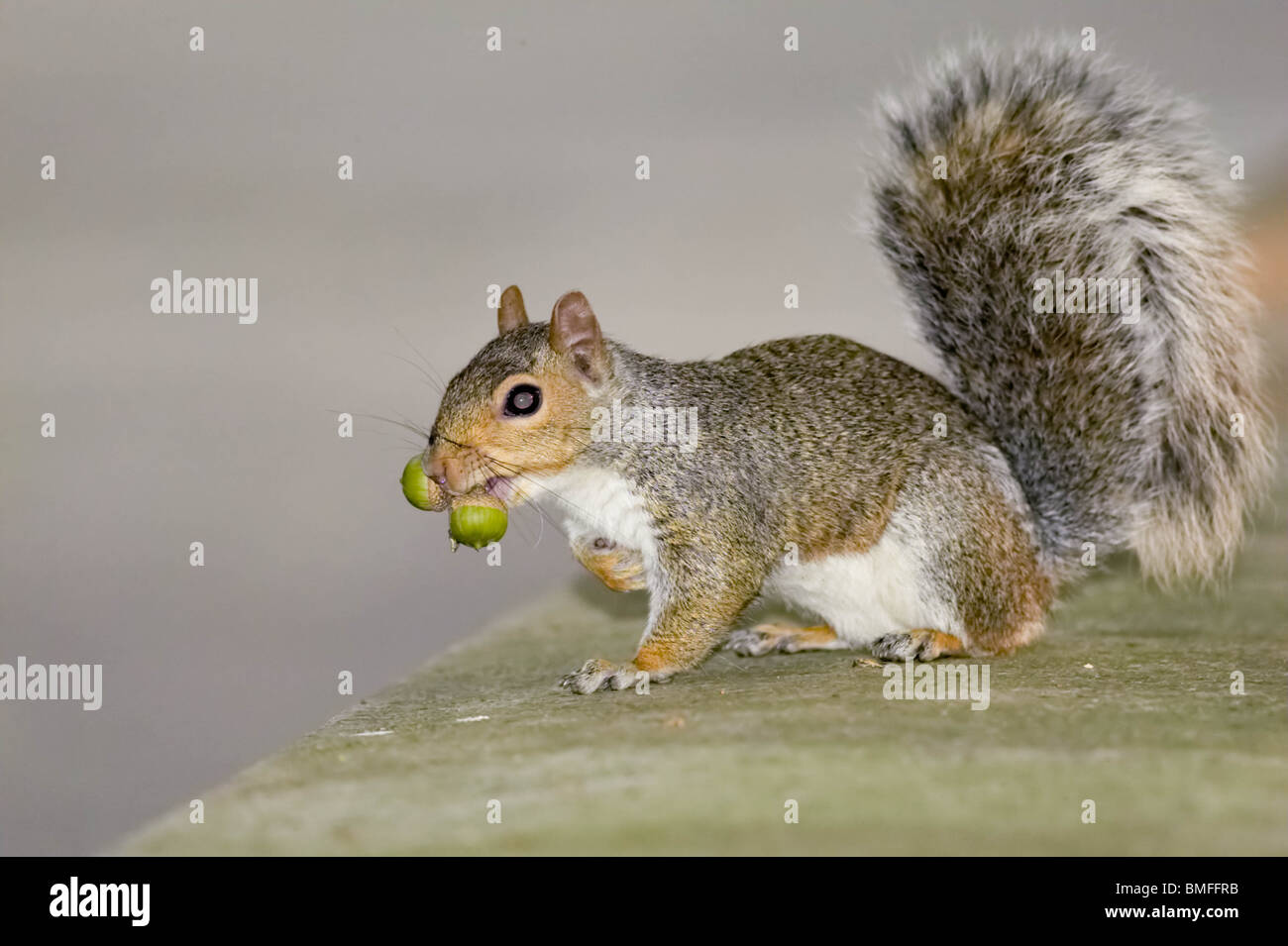 Eastern Gray Squirrel carrying acorns in its mouth - Stock Image
