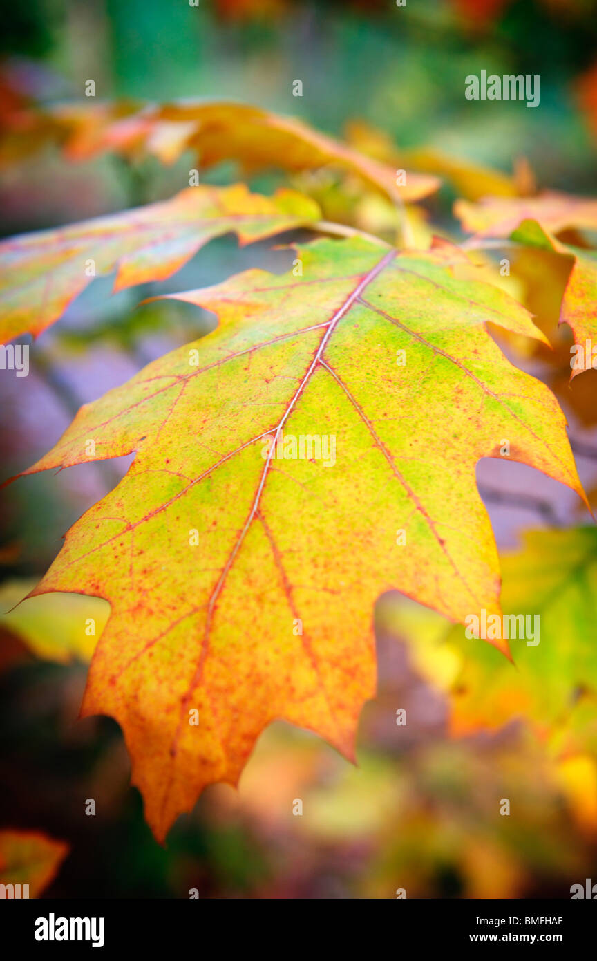 Colorful leaf in a Norfolk Wood on an Autumn day - Stock Image