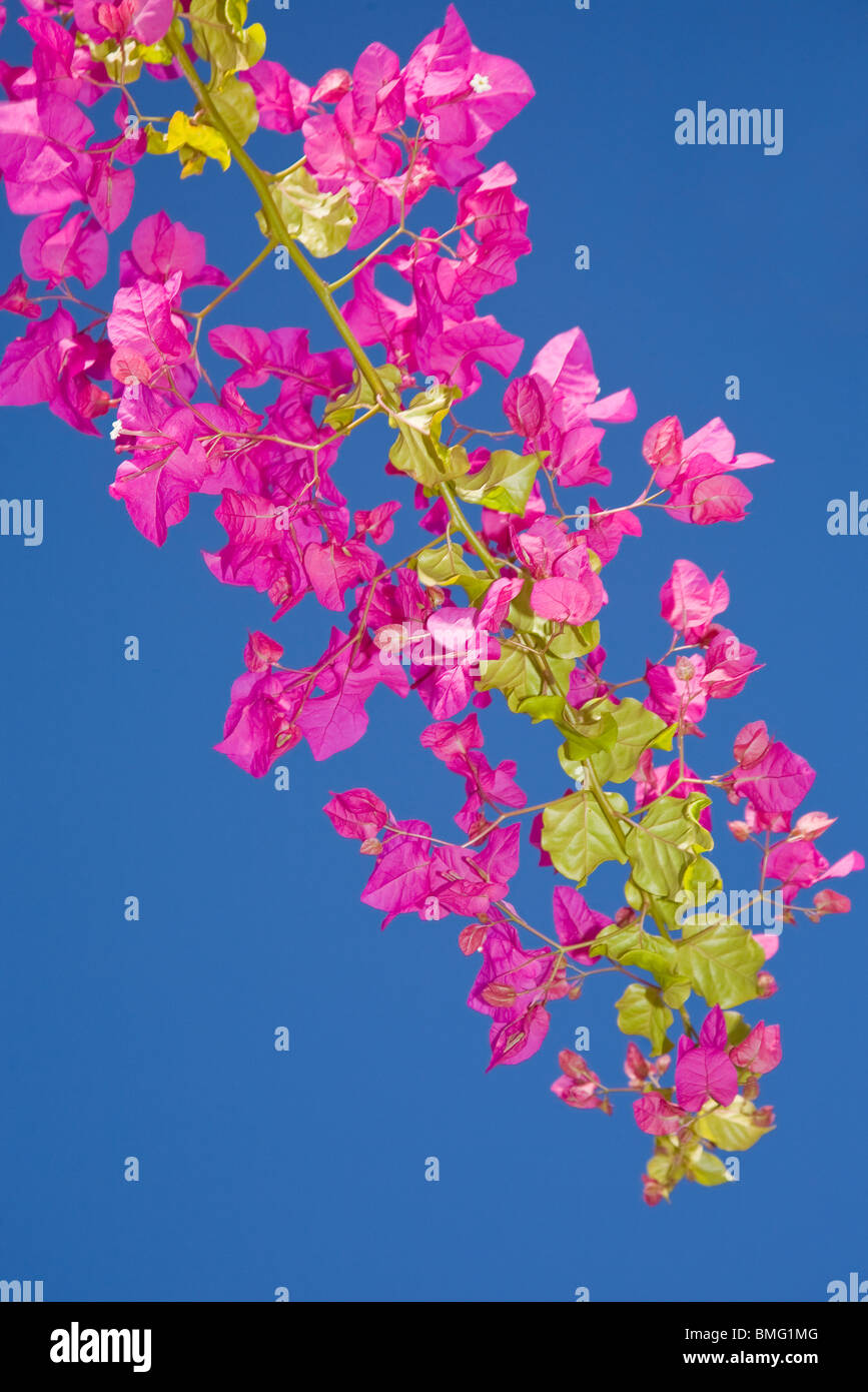 Bougainvillea in full flower - Stock Image
