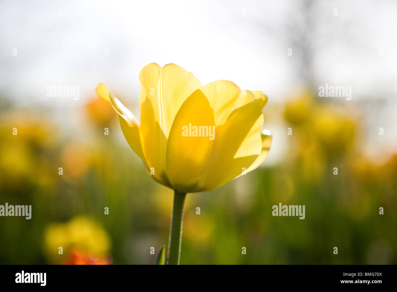 A yellow tulip in full bloom, close up - Stock Image