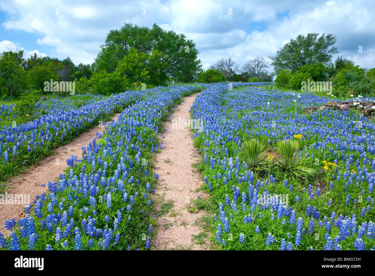 Double tracks through a field of Texas bluebonnets near Sandy, Texas. - Stock Image