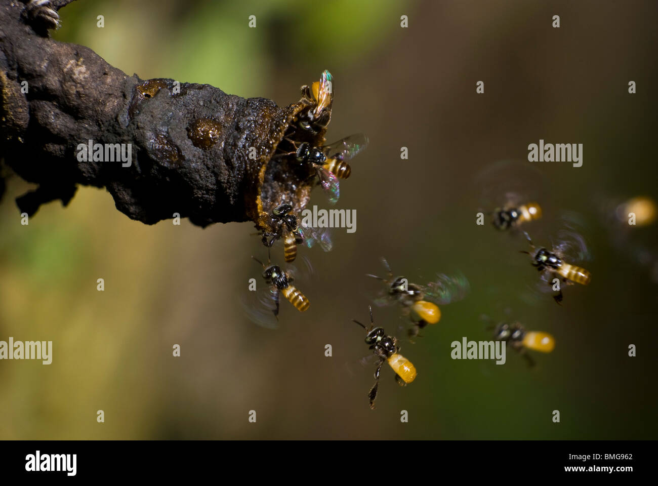 Sweat bees making their way back to the nest - Stock Image