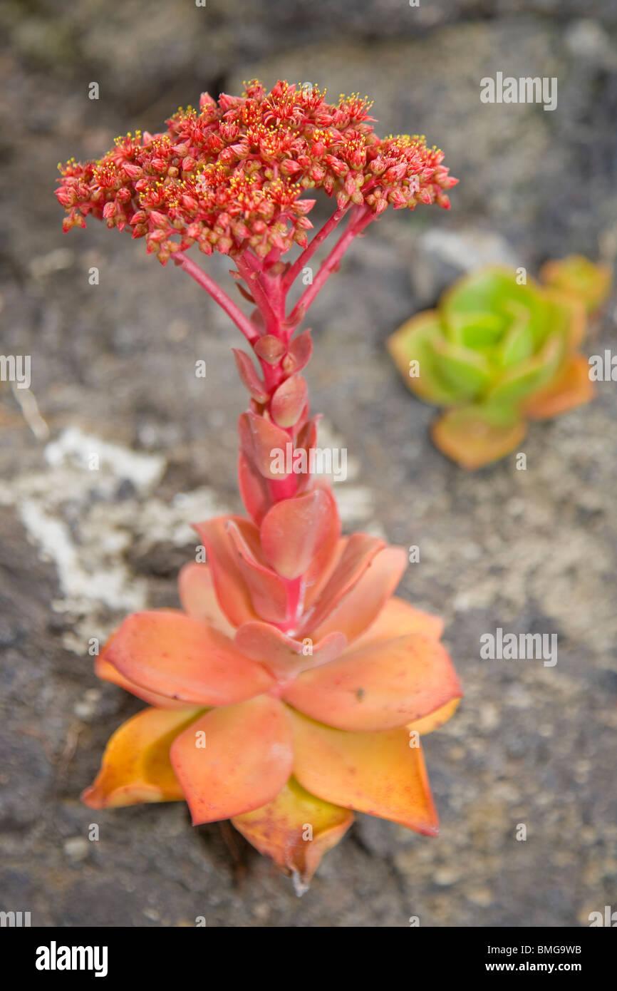 Aeonium nobile in flower growing on lava rock - Stock Image