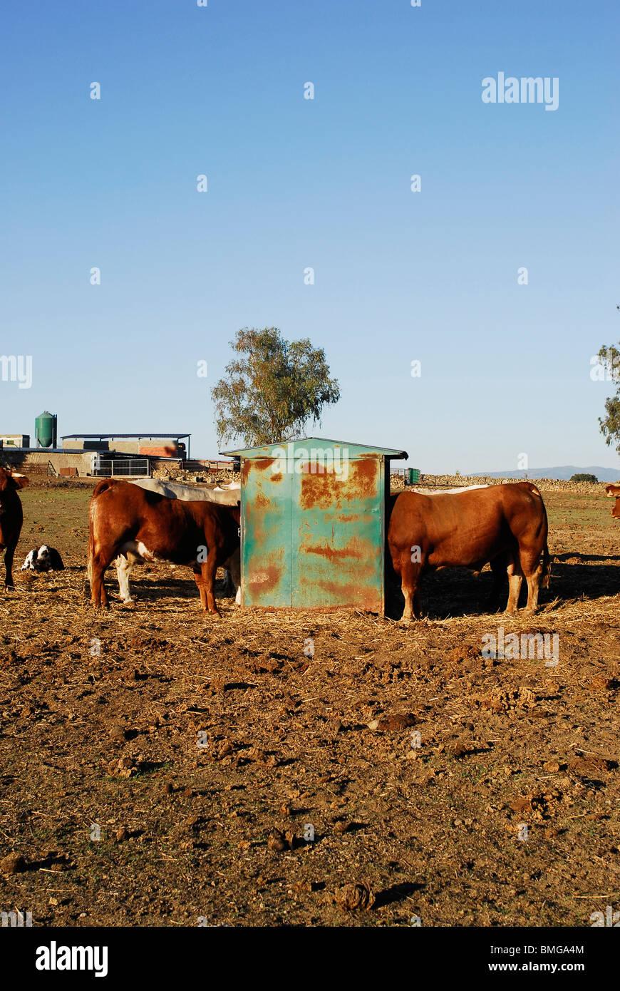 Vacas en la provincia de Caceres. Extremadura, España. Cows. Caceres province, Extremadura region, Spain - Stock Image