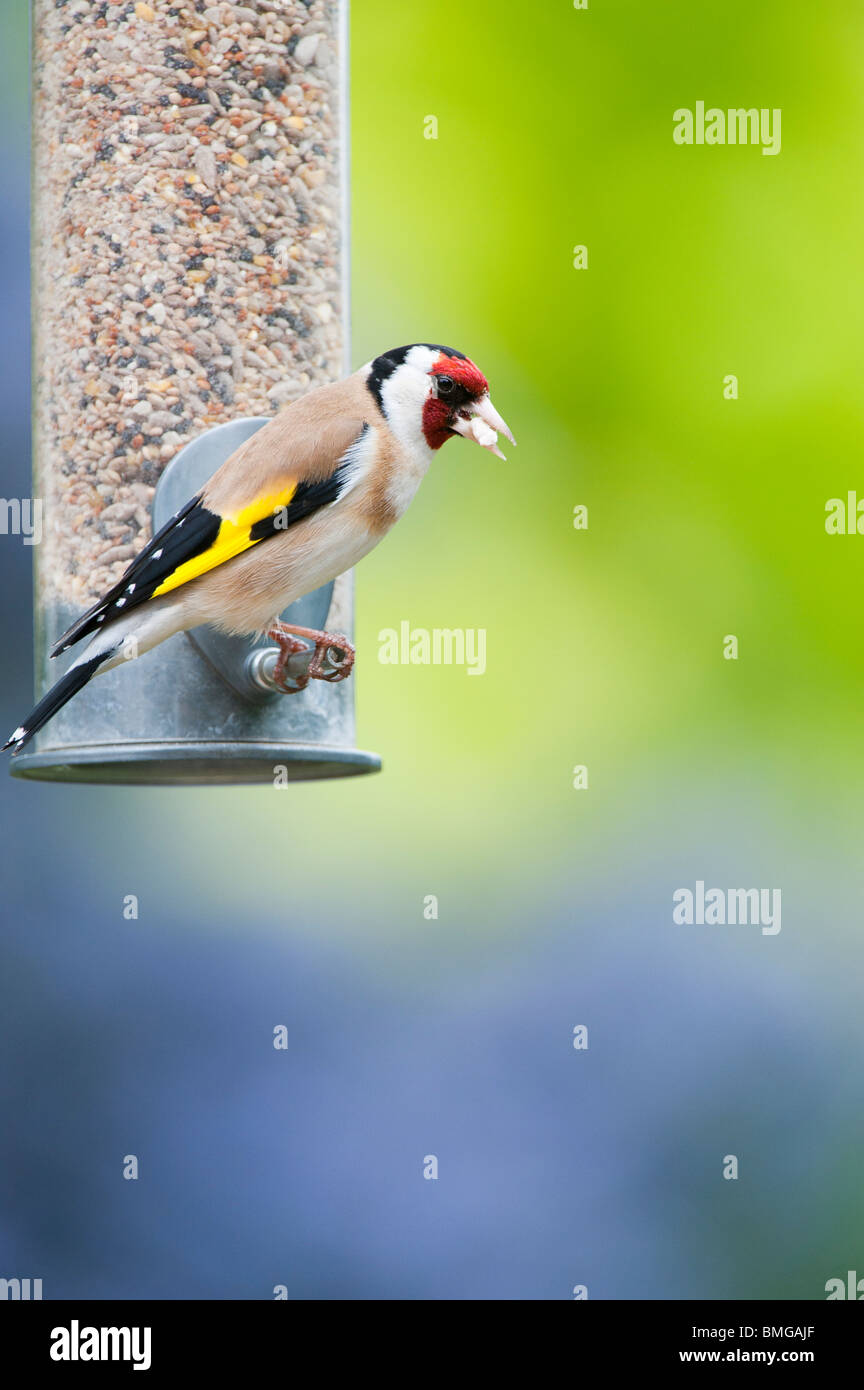 Goldfinch on bird seed feeder in a garden against a coloured background - Stock Image