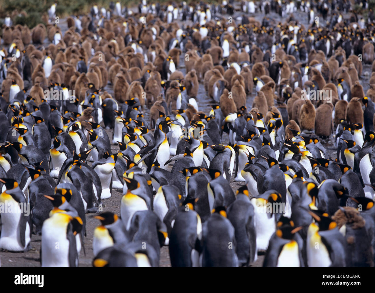 Colony of King penguins Aptenodytes patagonicus in Gold Harbour South Georgia Island, Antarctica - Stock Image