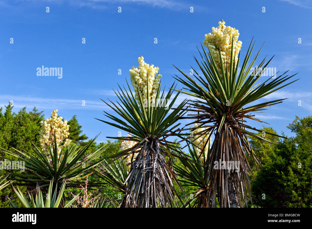 Yucca plants bloom in rural Texas hill country, USA. - Stock Image