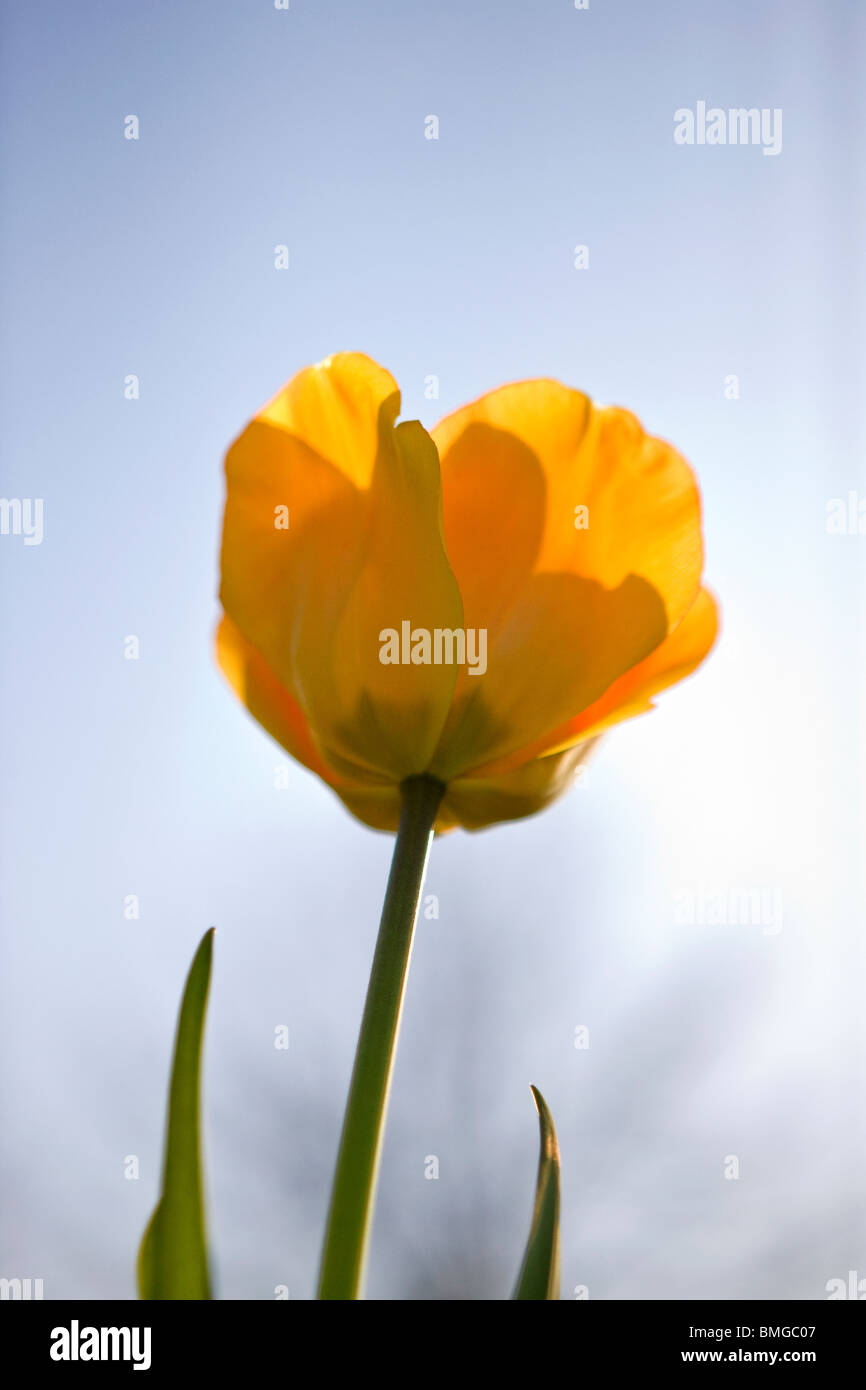 A yellow tulip in full bloom, close up Stock Photo