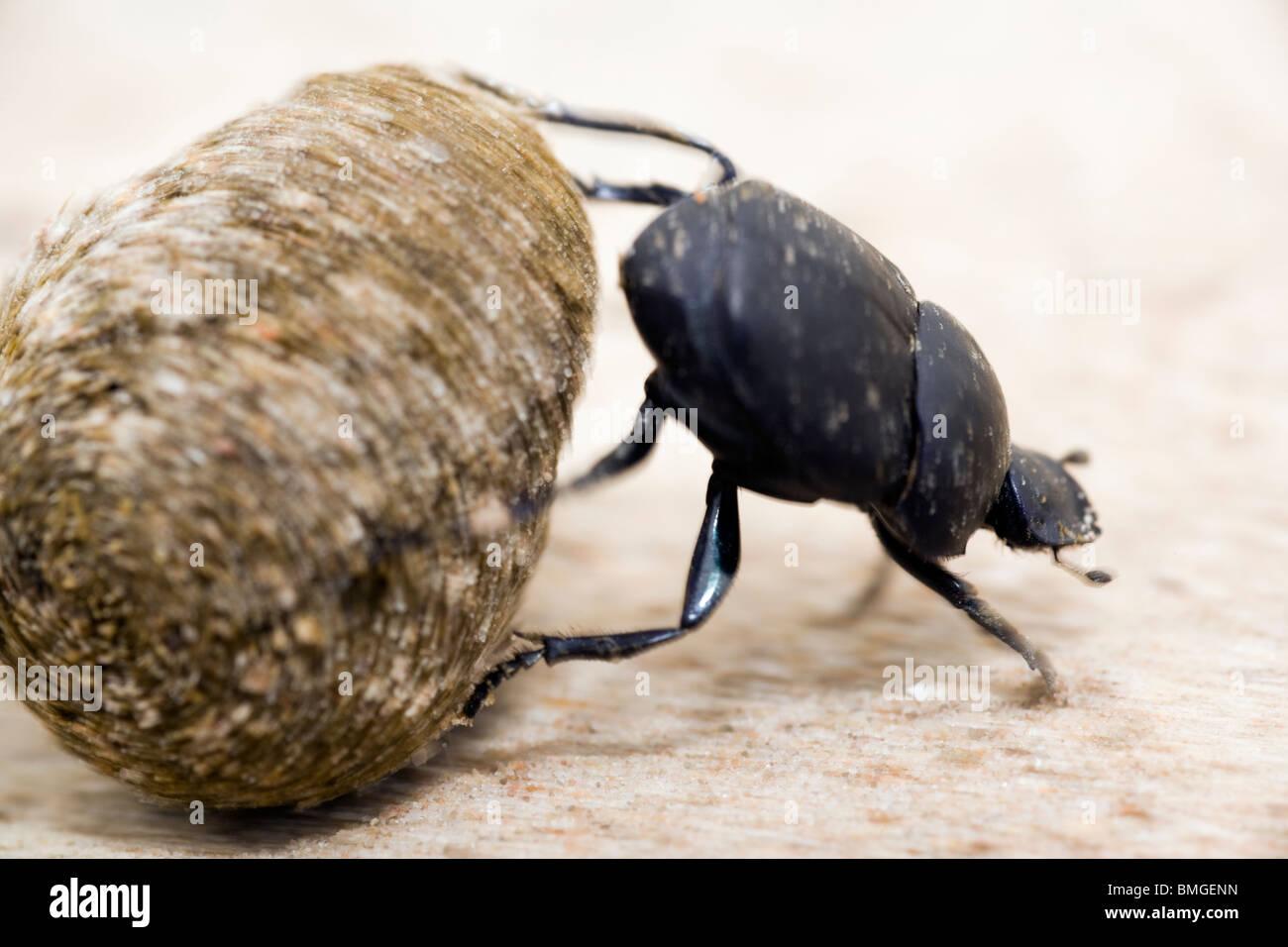 Dung Beetle - Los Novios Ranch - near Cotulla, Texas USA Stock Photo
