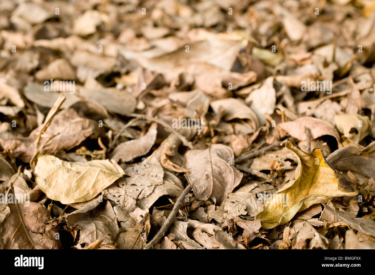 Dry, Brown Leaves On The Ground - Stock Image