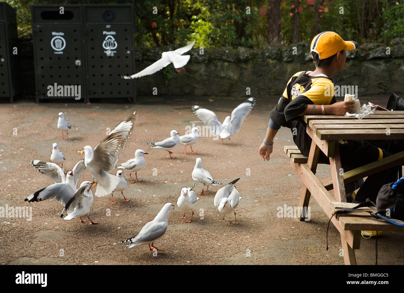 A child feeding the seagulls in the zoo, Auckland, New Zealand - Stock Image