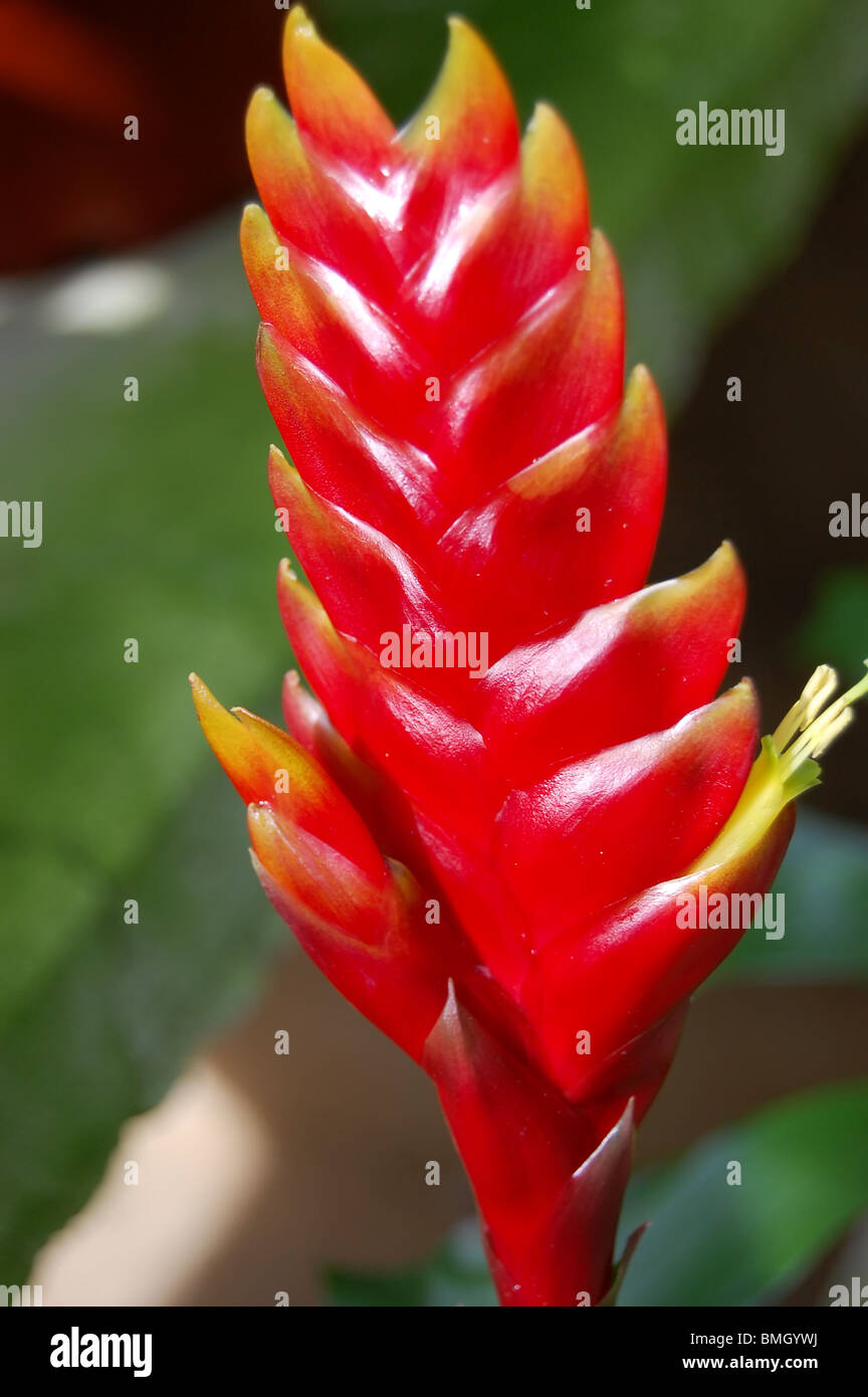 Red Bromeliad Flower High Resolution Stock Photography And Images Alamy
