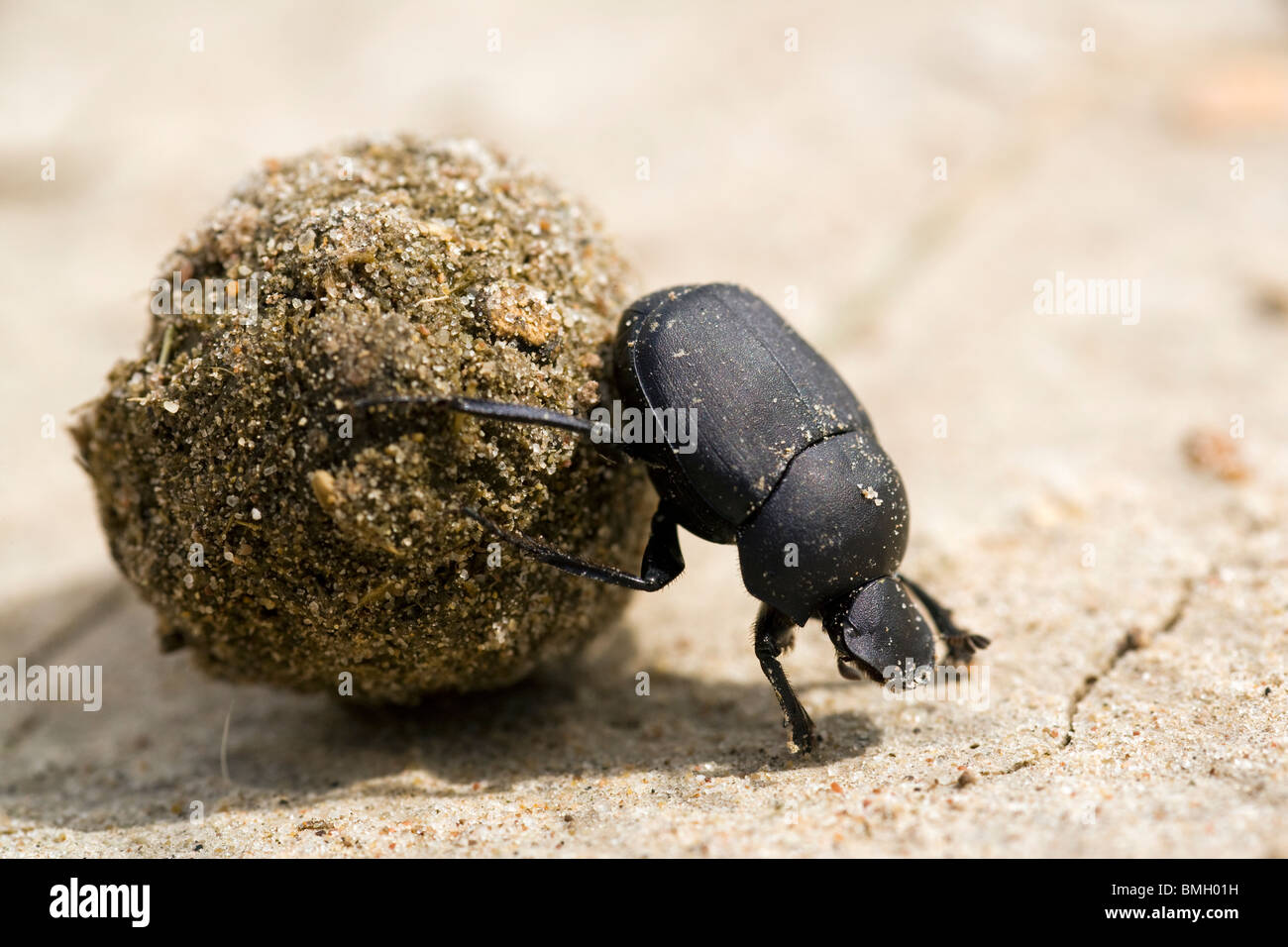 Dung Beetle - Los Novios Ranch - near Cotulla, Texas USA Stock Photo