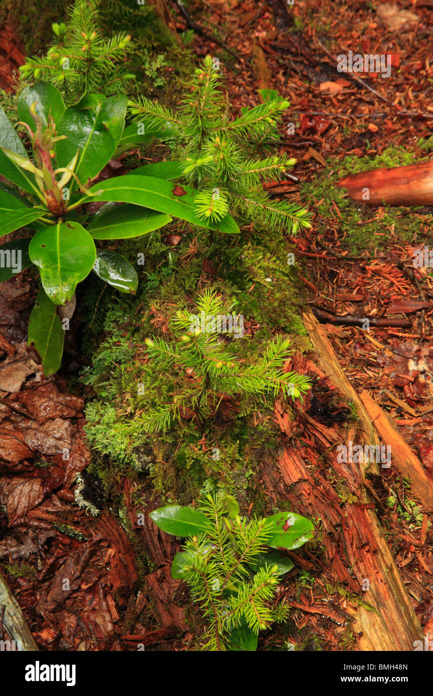 Plants on Nurse Log, Rohrbaugh Trail, Dolly Sods Wilderness Area, Hopeville, West Virginia - Stock Image