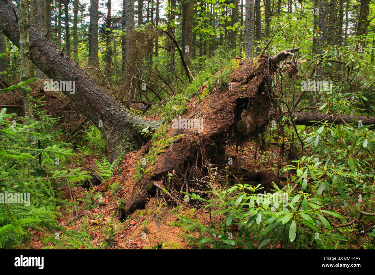Plants on Fallen Tree, Rohrbaugh Trail, Dolly Sods Wilderness Area, Hopeville, West Virginia - Stock Image